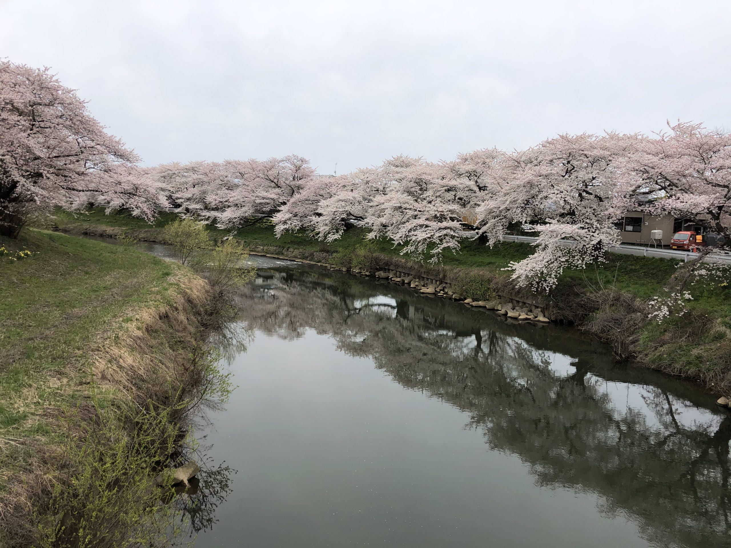 秋田市牛島泰平側桜